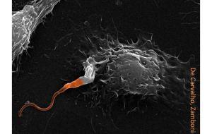 Выявлен арсенал, используемый паразитом для воздействия на клеточную защиту и усиления лейшманиоза.