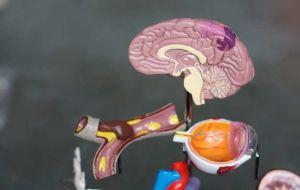 Подробный атлас развивающегося мозга