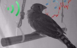 Инженеры используют устройство размером с конфетти, чтобы изменить высоту звука певчих птиц и улучшить понимание человеческой речи.