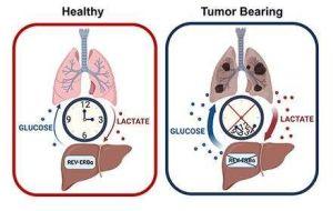 Нарушение циркадной регуляции позволяет увеличить выработку глюкозы при раке легких.