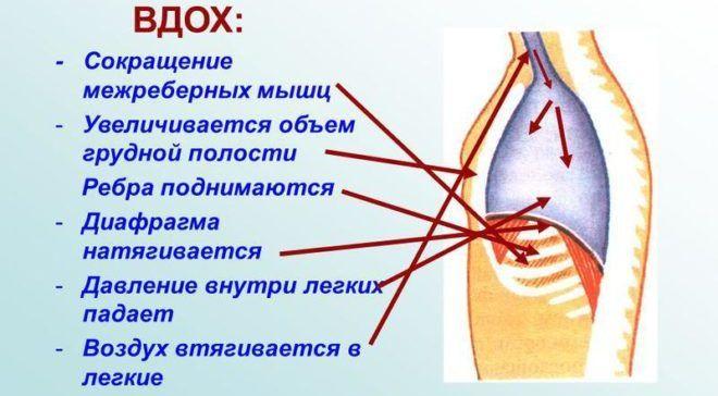 Сокращение диафрагмы