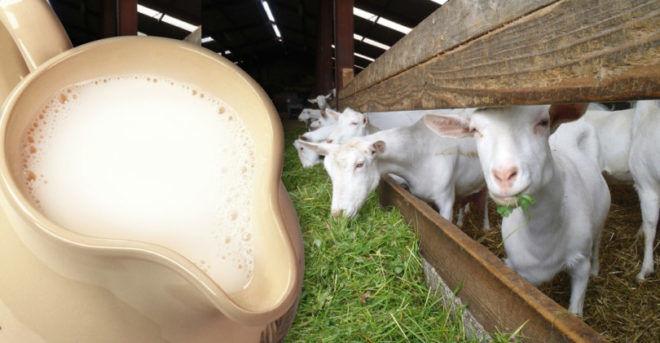 Врачи рекомендуют козье молоко так как оно не вызывает вздутие