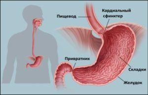 Кардиальный сфинктер является входным клапаном из пищевода в желудок