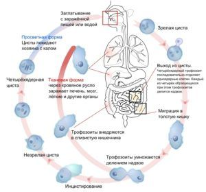 Способ передачи амебиаза