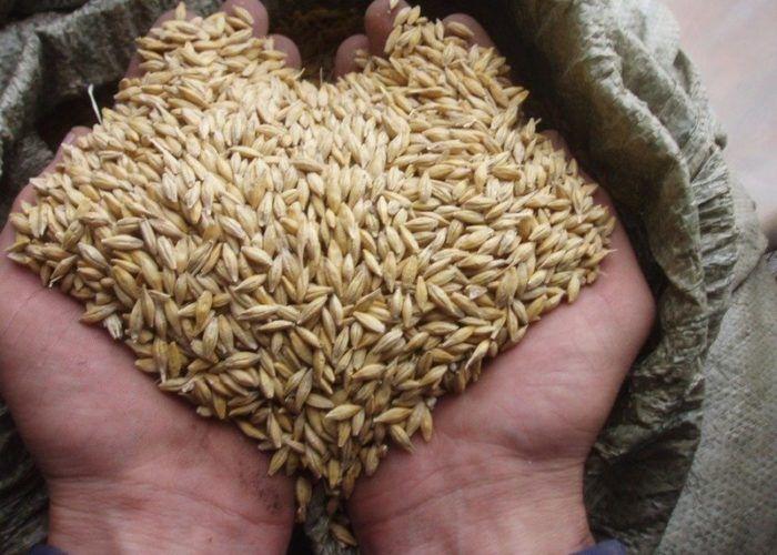 Зерна ячменя или овса